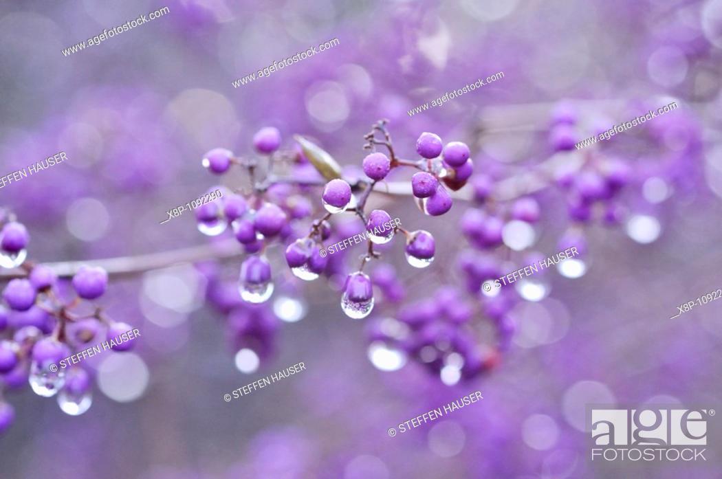 Stock Photo: Japanese beautyberry Callicarpa japonica.