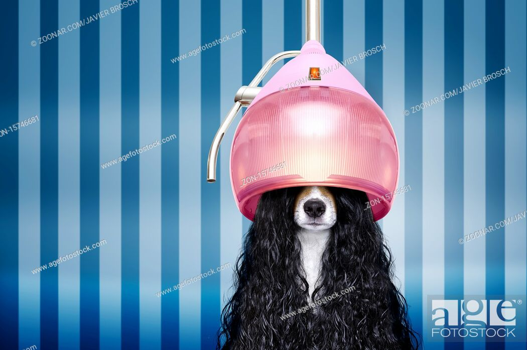 Stock Photo: jack russell dog at the hairdressers with long curly hair wig , in beauty salon.
