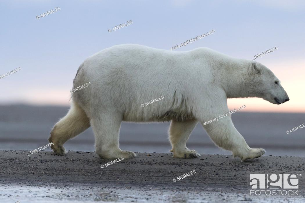Stock Photo: United States, Alaska, Arctic National Wildlife Refuge, Kaktovik, Polar Bear( Ursus maritimus ), along a barrier island outside Kaktovik, Alaska.