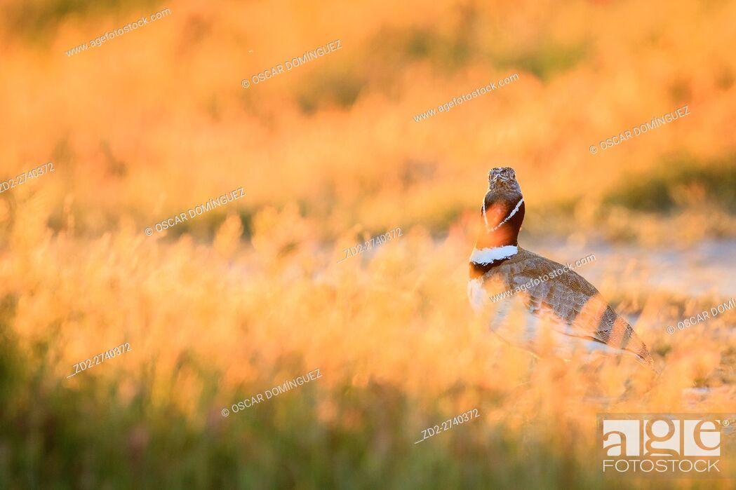 Stock Photo: Little Bustard (Tetrax tetrax) male hidden by grasses, face visible. Lleida province. Catalonia. Spain.