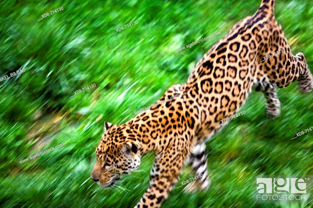 Imagen: Jaguar (Panthera onca) in motion.