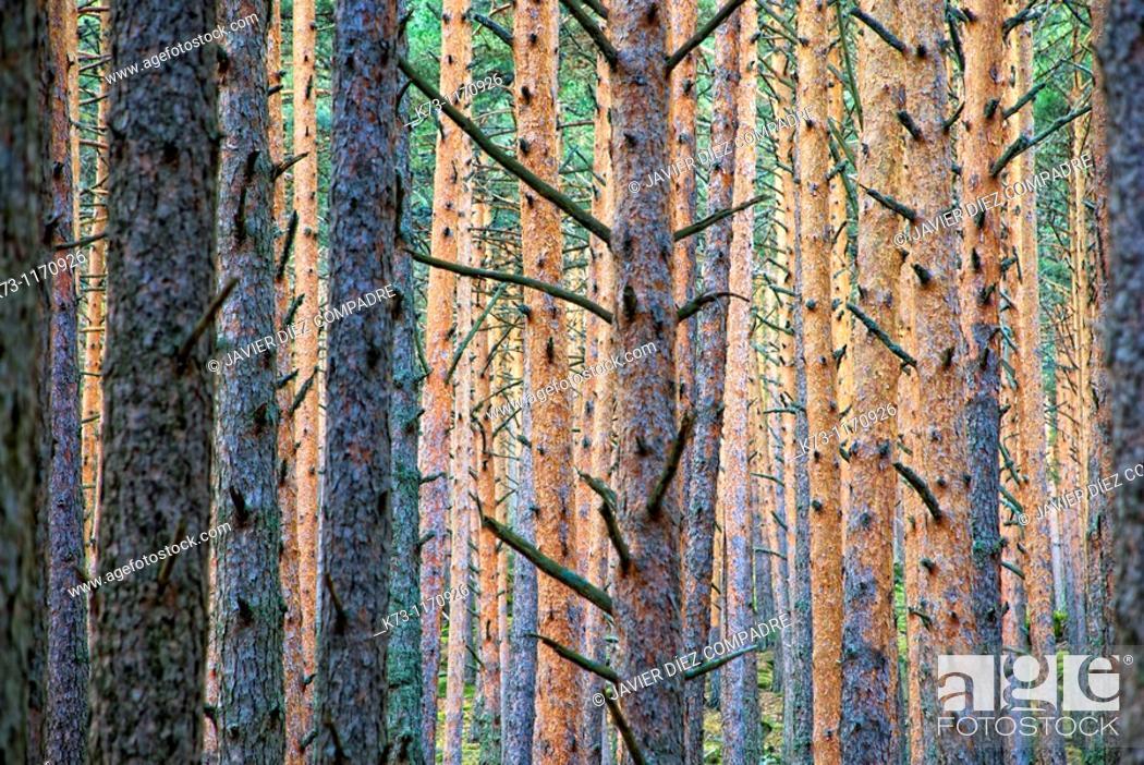 Stock Photo: Scots Pines (Pinus Sylvestris). Navafria. Segovia province. Castilla y Leon. Spain.
