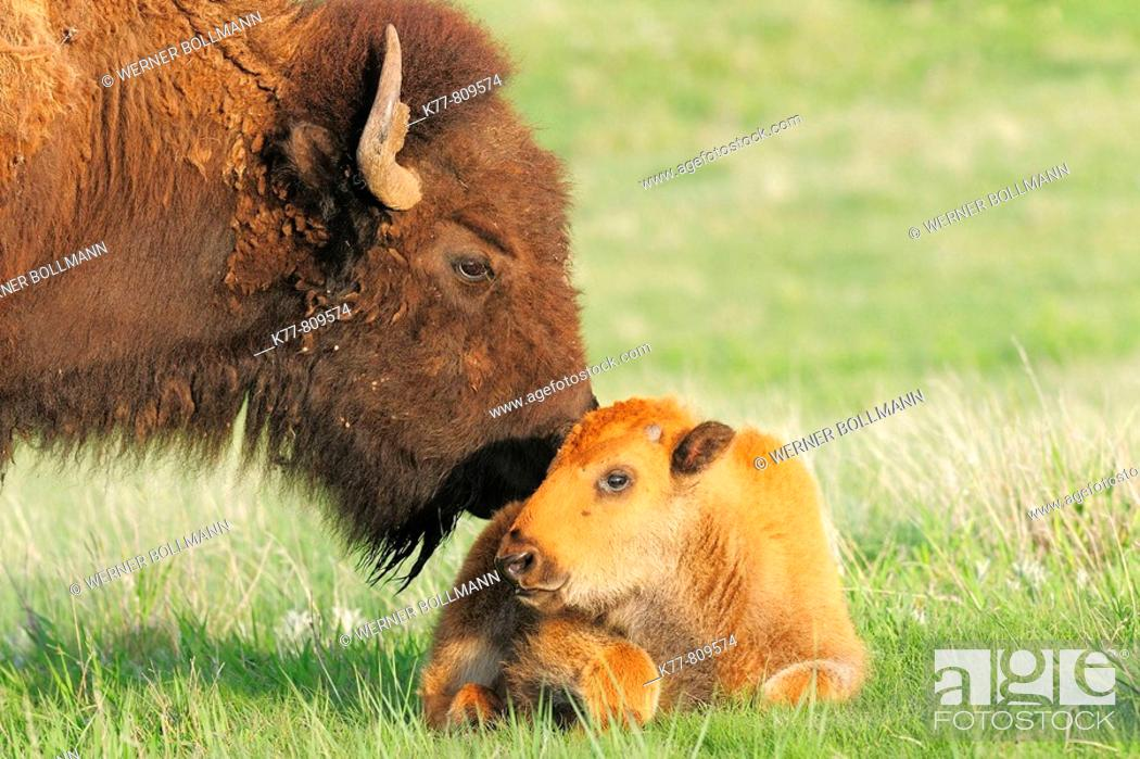 Stock Photo: American Bison/Buffalo (Bison bison), Young/Calf with Mother/Cow. Custer State Park, South Dakota, USA.