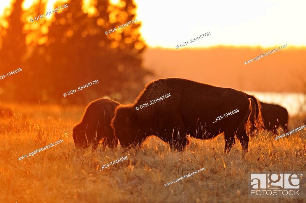 Stock Photo: Plains bison Bison bison grazing.