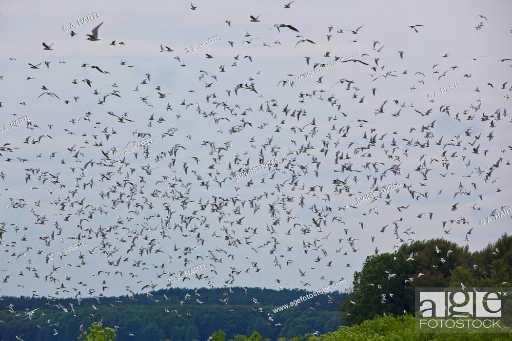 Stock Photo: black-headed gull (Larus ridibundus, Chroicocephalus ridibundus), large flock flying, Germany, Mecklenburg-Western Pomerania.