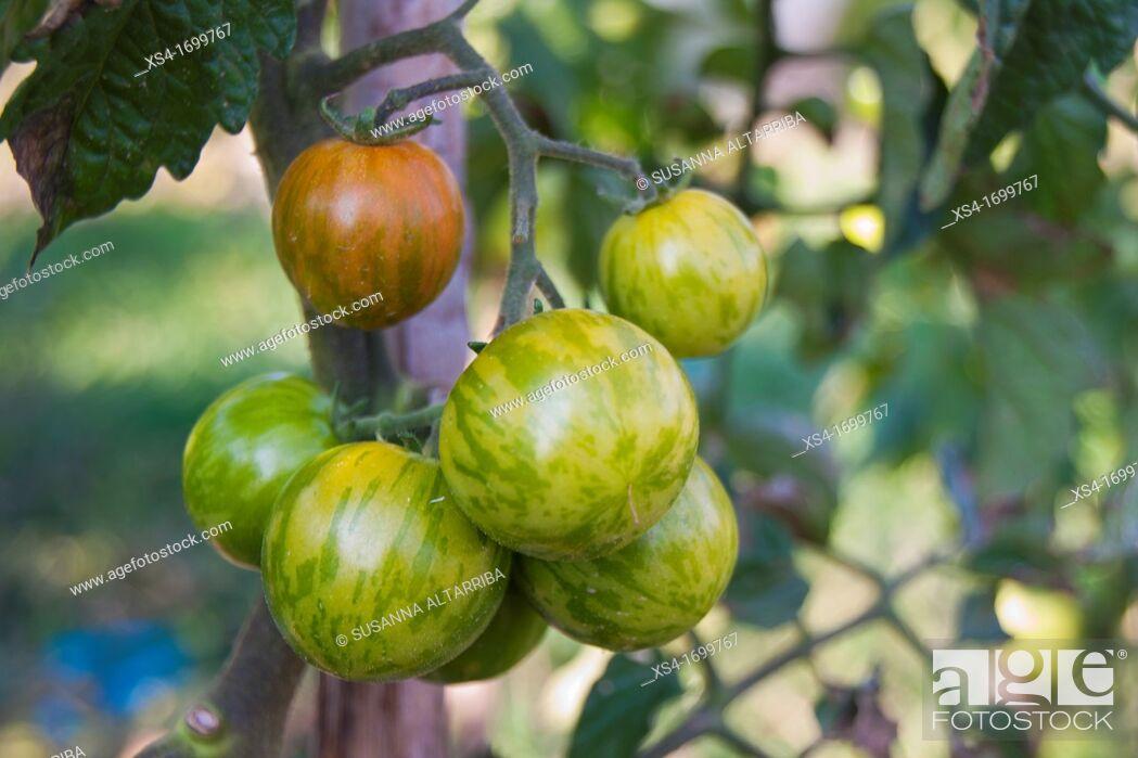 Imagen: Lycopersicum esculentum, unripe tomatoes zebra in your plant.