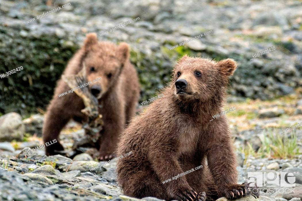Stock Photo: Brown bear spring cubs play along the lower lagoon at the McNeil River State Game Sanctuary on the Kenai Peninsula, Alaska.