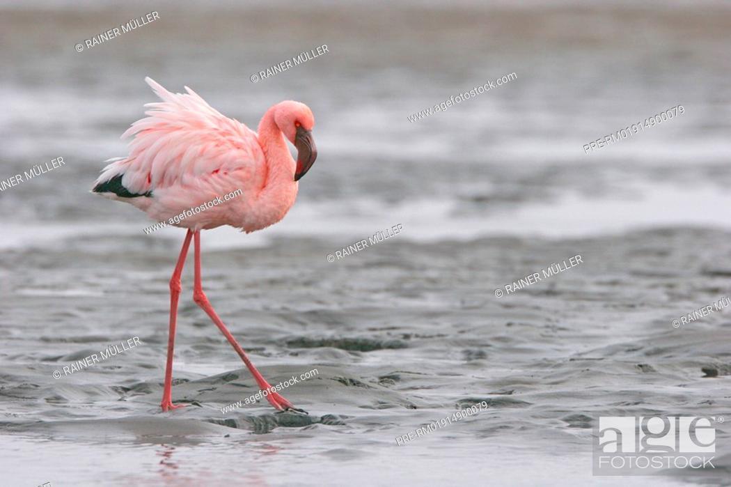 Stock Photo: Lesser Flamingo, Phoenicopterus minor.