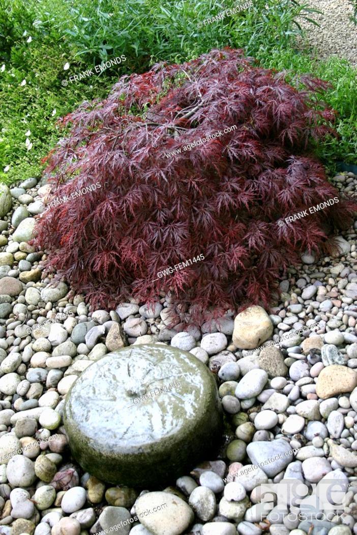 Acer Palmatum Dissectum Atropurpureum With Tiny Pool Stock Photo