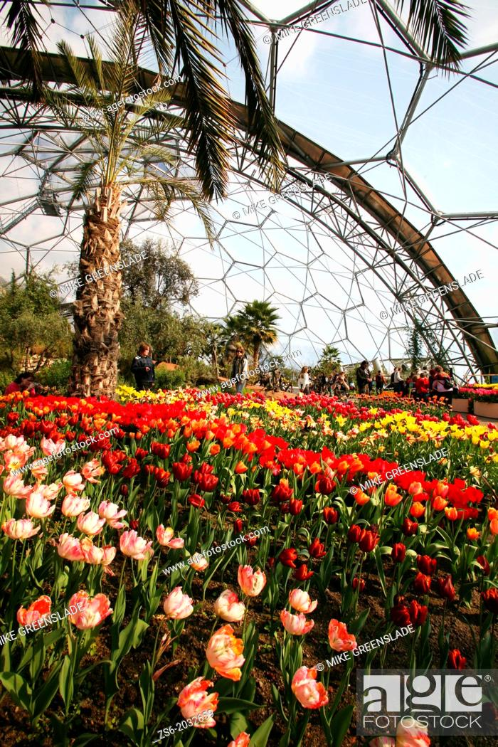 Imagen: Tulips in bloom, The Eden Project, St Austell, Cornwall, UK.