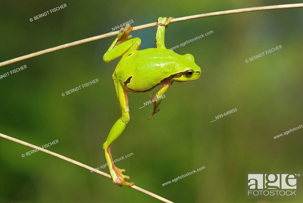 Stock Photo: Common tree frog (Hyla arborea), climbing in dry reed, spring,  National Park Kiskunsag, Hungary.