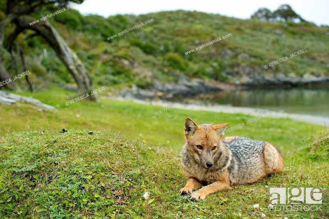 Stock Photo: A Pategonian grey fox Lycalopex griseus in the Parque National Tierra del Fuego, Argentina.