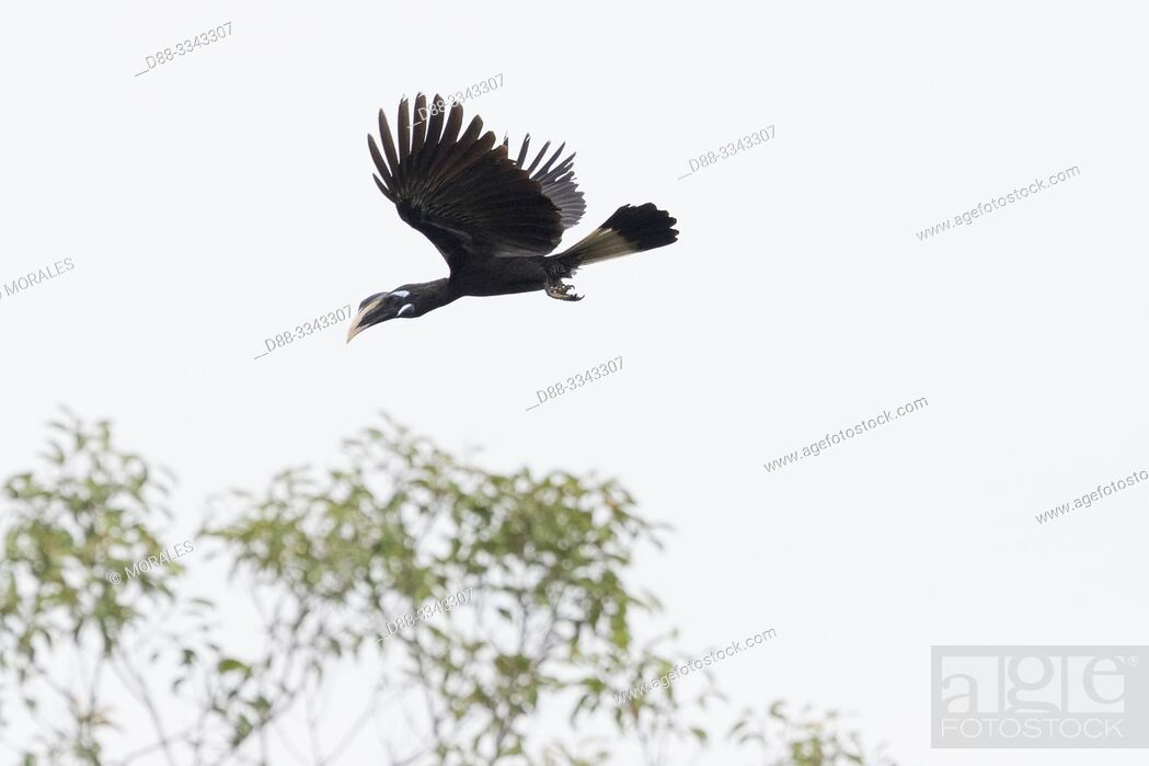 Stock Photo: Asia, Indonesia, Borneo, Tanjung Puting National Park, black hornbill (Anthracoceros malayanus), in flight.