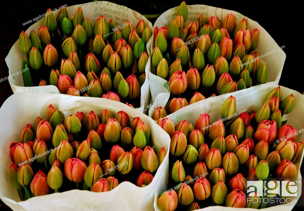 Imagen: Young Tulips in Amsterdam.