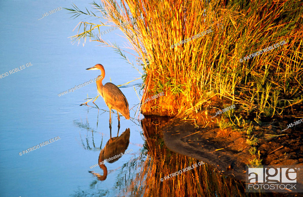 Stock Photo: Goliath heron (Ardea goliath). South Africa.