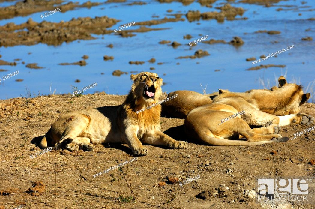 Stock Photo: Sleepy lion lying at a water point.