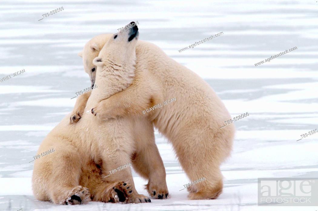Stock Photo: Canada, Manitoba, Churchill Polar bear mother with cub (Ursus mritimus).