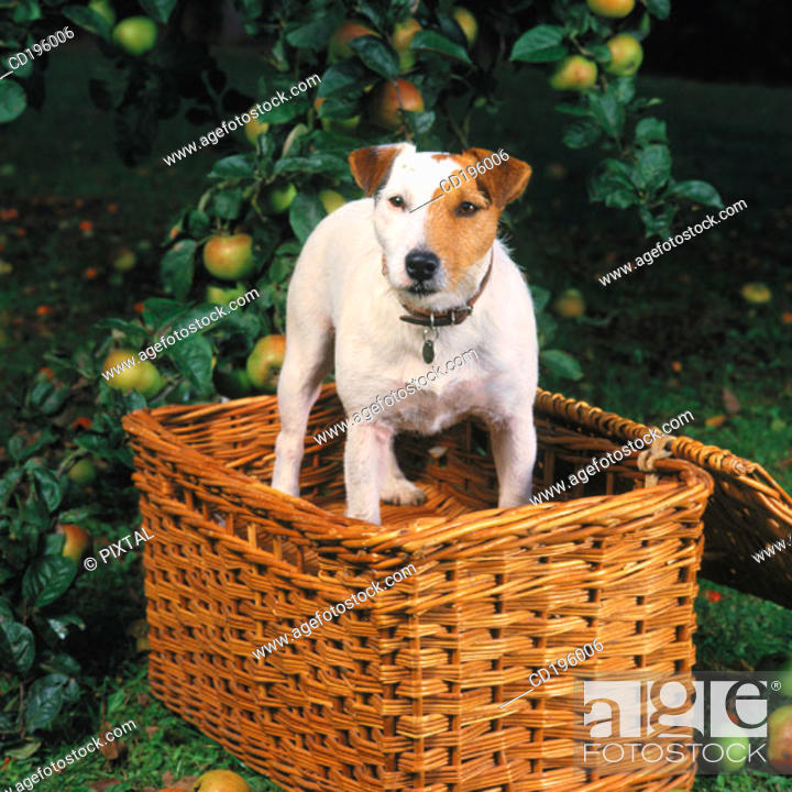 Stock Photo: Jack Russell Terrier.