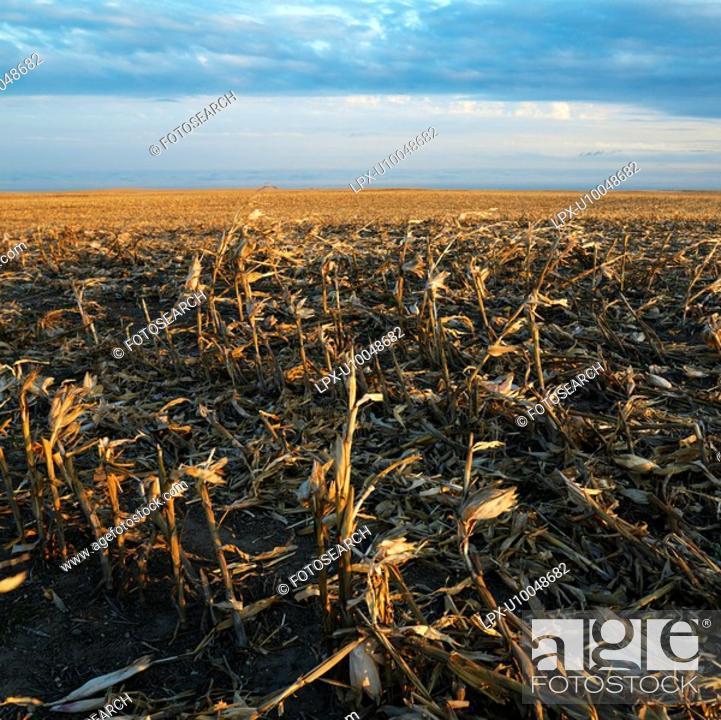 Stock Photo: Dead cornfield in rural South Dakota.