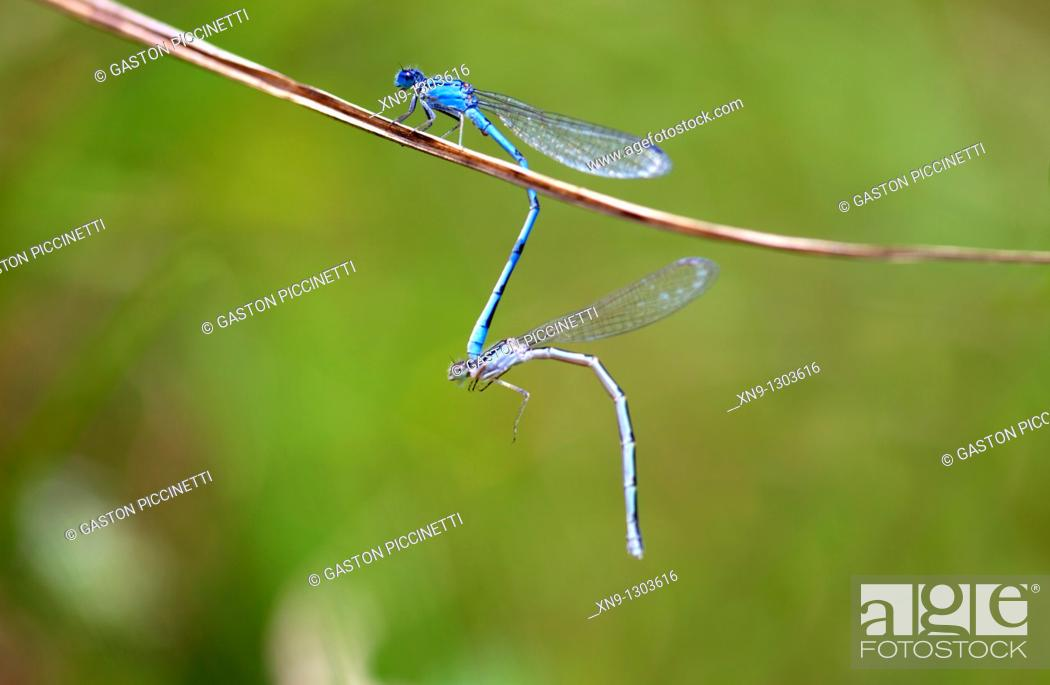 Stock Photo: Male and female Common bluetail damselflies (Ischnura heterosticta). Cincinnati, USA.
