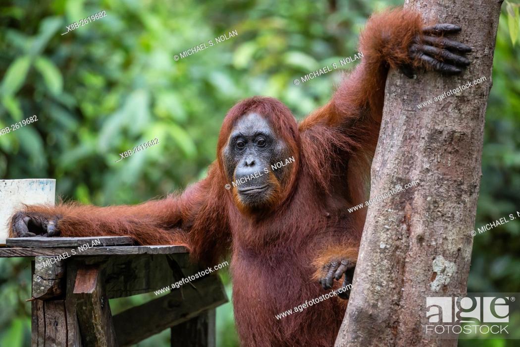 Stock Photo: Reintroduced adult orangutan, Pongo pygmaeus, Camp Leakey, Tanjung Puting National Park, Borneo, Indonesia.