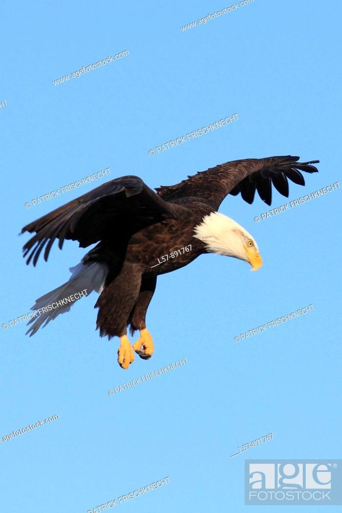 Stock Photo: Bald Eagle, Haliaeetus leucocephalus, Weisskopfseeadler, Homer, Kenai Peninsula, Alaska, USA.