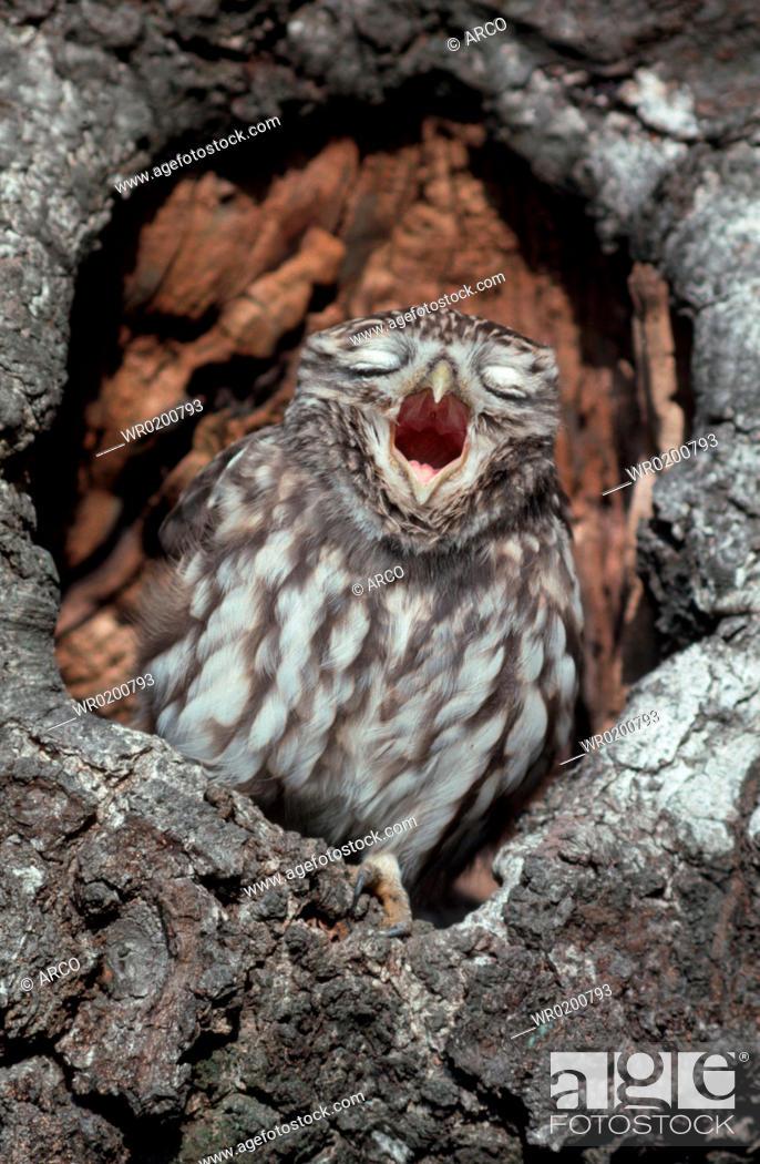 Stock Photo: Little, Owl, yawning, Germany, Athene, noctua.