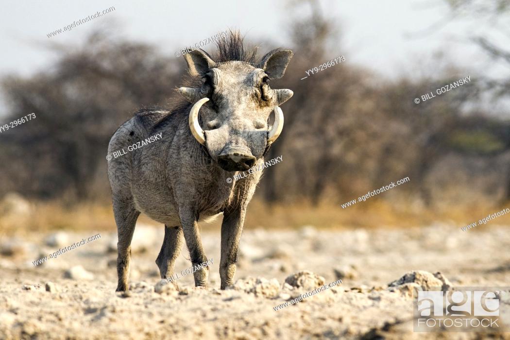 Stock Photo: Common warthog (Phacochoerus africanus) - Onkolo Hide, Onguma Game Reserve, Namibia, Africa.