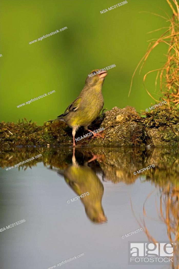 Stock Photo: Greenfinch Carduelis chloris.