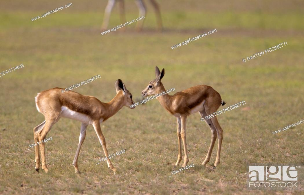Stock Photo: Springbok (Antidorcas marsupialis) - Lambs, Kgalagadi Transfrontier Park in rainy season, Kalahari Desert, South Africa/Botswana.