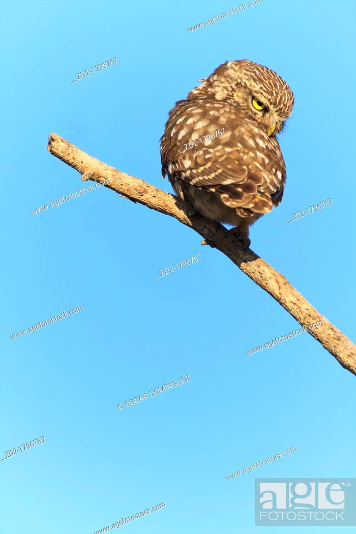 Stock Photo: Little Owl Athene noctua perched on branch  Lleida  Catalonia  Spain.