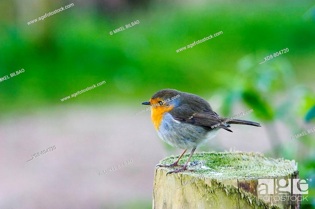 Stock Photo: European Robin Erithacus rubecula on a stump.