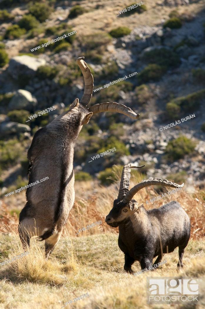 Stock Photo: Fight males of mountain goat (Capra hispanica), Sierra de Gredos, Ávila, Castilla León, Spain.