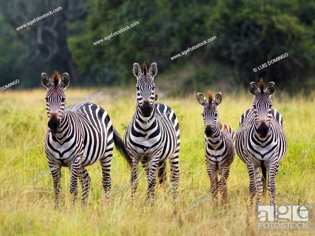 Stock Photo: burchell's zebra.