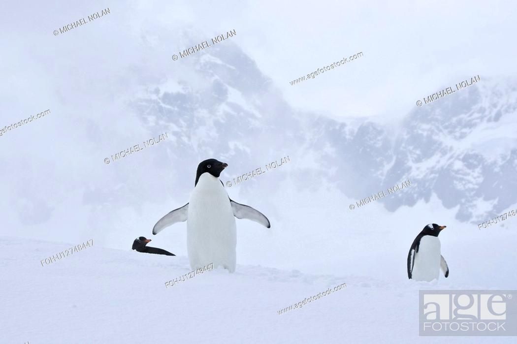 Imagen: A lone adult Adelie penguin Pygoscelis adeliae among two gentoo penguins on an iceberg off Port Lockroy, Antarctica. There are an estimated 2 million breeding.