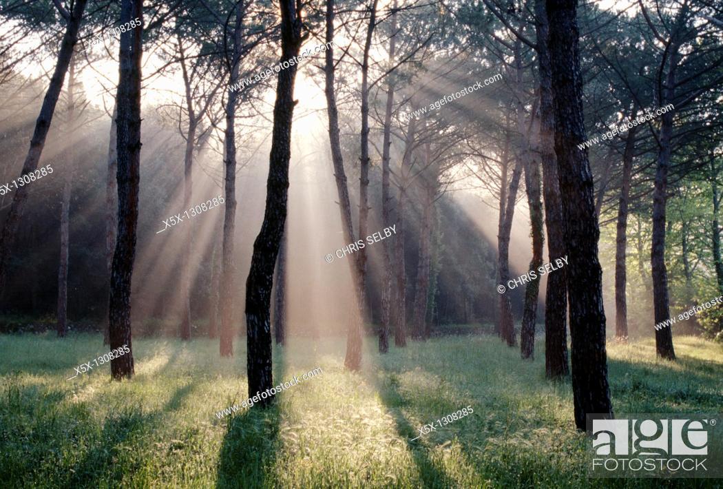 Stock Photo: Beams of sunlight through trees, Pievescola, Tuscany, Italy.