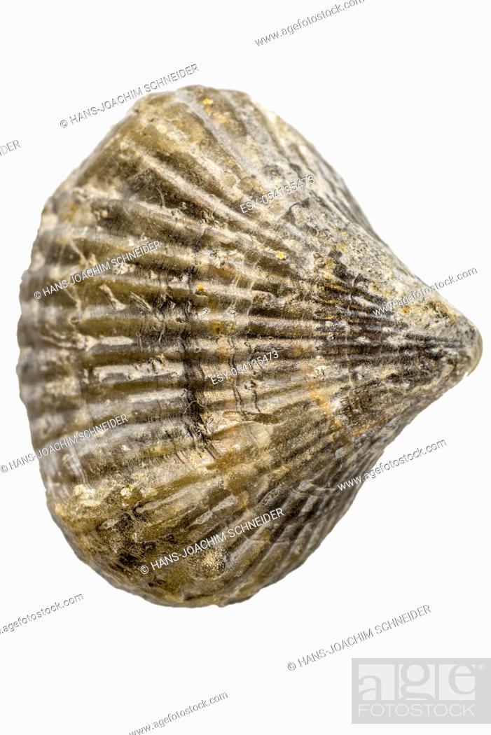 Imagen: Brachiopoda fossils, jurassic animals of Germany.