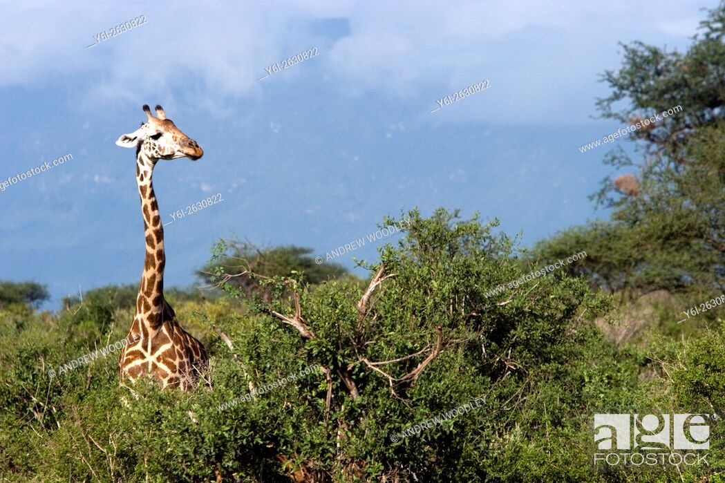 Stock Photo: Giraffe in bush Tsavo East National Park Kenya.
