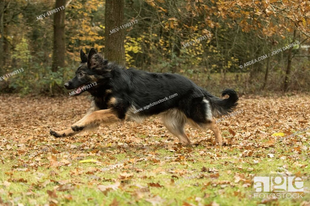 Stock Photo: DOG. German Shepherd, running in autumn leaves.