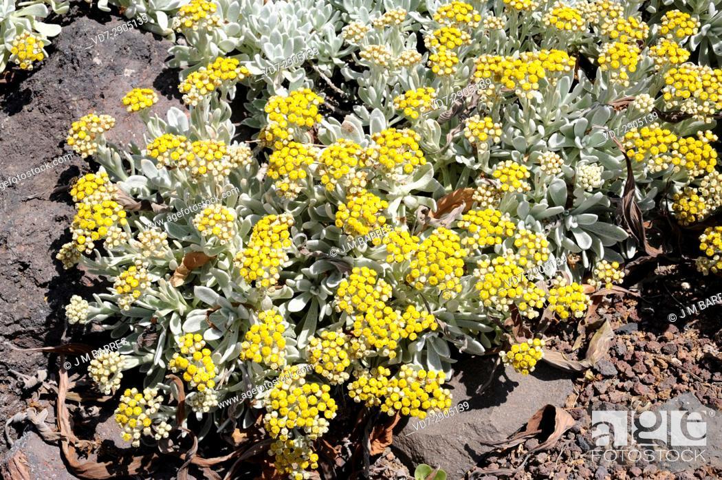 Stock Photo: Algodonera or yesquera amarilla (Helichrysum gossypinum) is plant endemic of Lanzarote Island, Canary Islands, Spain.