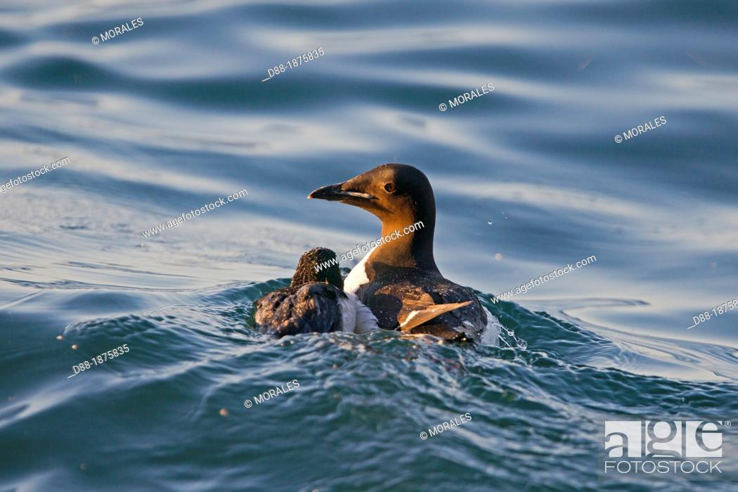 Stock Photo: Norway , Spitzbergern , Svalbard , Thick-billed Murre or Brünnich's Guillemot Uria lomvia , adult female and young.