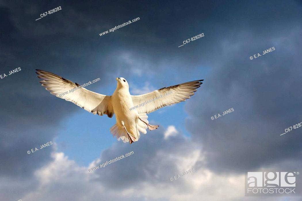 Stock Photo: Fulmar Fulmaris glacialis in Flight Hunstanton Norfolk.