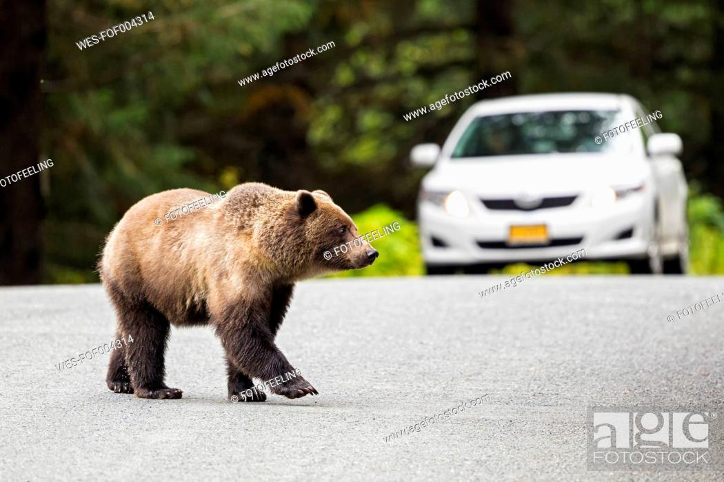 Stock Photo: USA, Alaska, Brown bear crossing road in front of car.