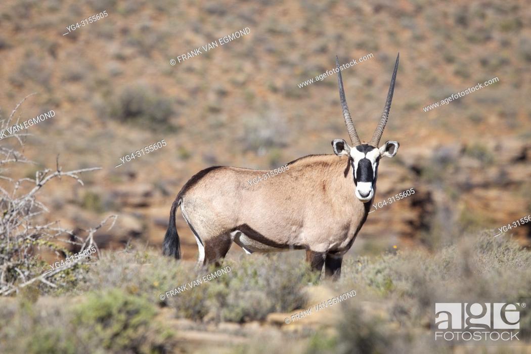 Stock Photo: Gemsbok in Karoo National Park, South Africa.