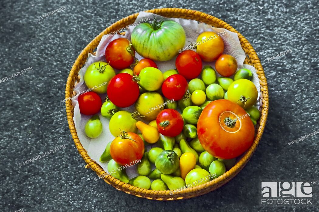 Photo de stock: A basket of tomatoes fresh from the garden.