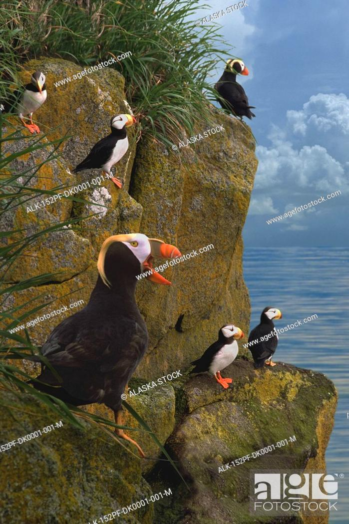 Stock Photo: Tufted & Horned Puffins Bering Sea Round Isl WE AK summer portrait Digital Image.