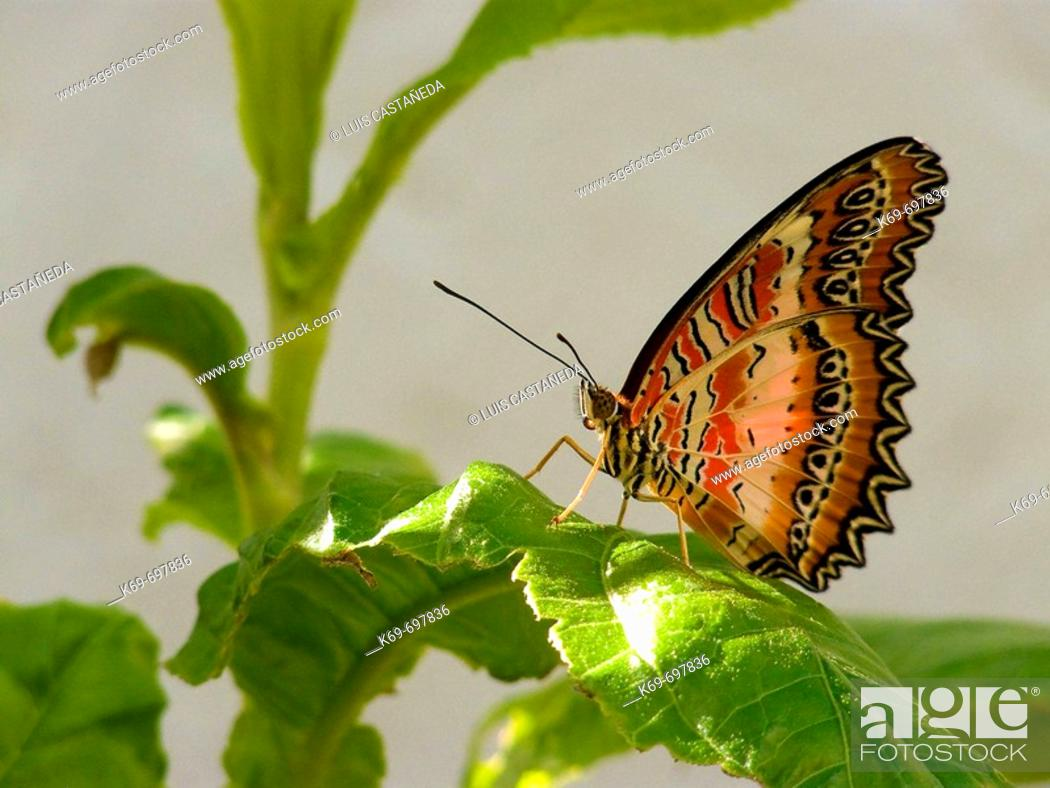 Stock Photo: Lacewing Butterfly (Cethosia biblis).