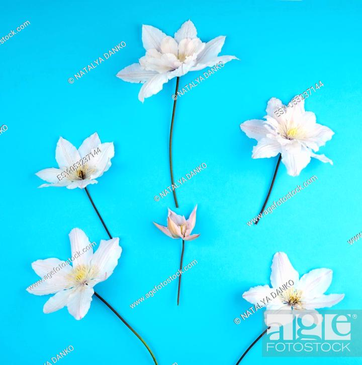 Stock Photo: white flowers and green leaves of clematis on a blue background, top view.