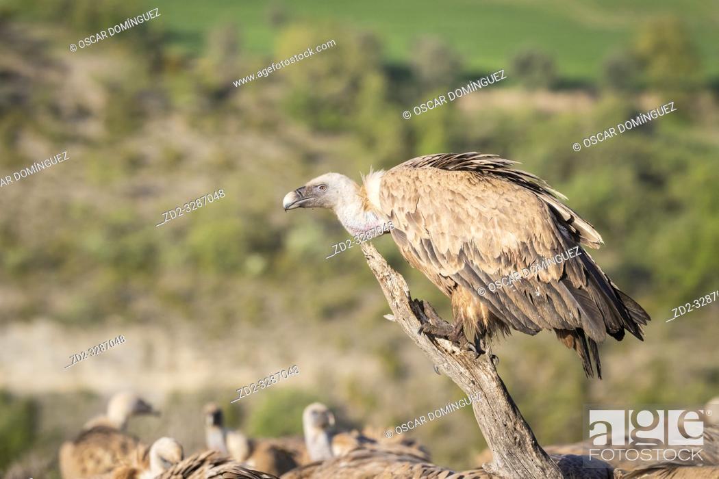 Stock Photo: Griffon Vulture (Gyps fulvus) portrait. Lleida province. Catalonia. Spain.