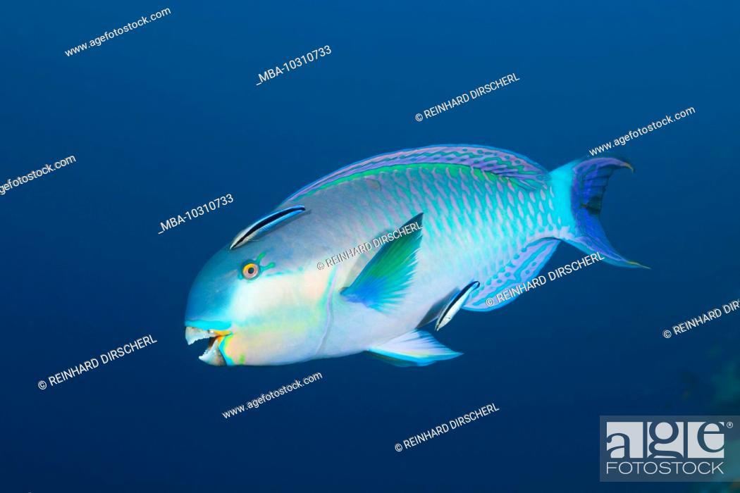 Stock Photo: Indian Steephead Parrotfish, Scarus strongylocephalus, Felidhu Atoll, Indian Ocean, Maldives.